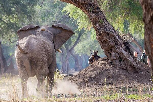 Elephant Mana Pools National Park Walking Safari Professional Guide When is the best time to go on safari to Zimbabwe