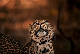 """""""This beautiful specimen of a leopard has mesmerizing eyes with an unusual hint of pale blue. She had made a kill in the night, but her cubs had clumsily knocked the antelope carcass out of the tree. She now needed to hoist it back up! I knew there would be a brief moment, when she would gaze up at the tree, to plot her route up. As soon as her beautiful eyes glanced skyward, I tripped my shutter…"""" Panthera pardus (African leopard) Tuli Block Botswana"""