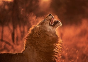 Last night I was woken several times by the deep baritone groans of lion. Is there anything better on this planet than lying in bed and hearing the resonating roar of a lion? This morning we had the simple task of following the enchanting echoes of the night and just as dawn broke, we found our A cappella culprits. They had been roaring in an attempt to track down their pride of lionesses. As they got ever closer to the females, they lifted their heads and curled their lips in what is known as the flehmen grimace. This allows them to sample the air for pheromones. A lingering condensation of breath caused me to hit my shutter button in a rushed panic. Even after ten years of photographing, my wild subjects still arouse in me an utter excitement that makes me feel like the picture I am about to take is my very first. Photographed on 19 August 2012 in the Londolozi Game Reserve of South Africa. Nikon D3s camera and Nikon 200-400mm lens ISO 200 F4 and 1/200th. SB900 fill flash used. Photographed using a beanbag and from a vehicle.