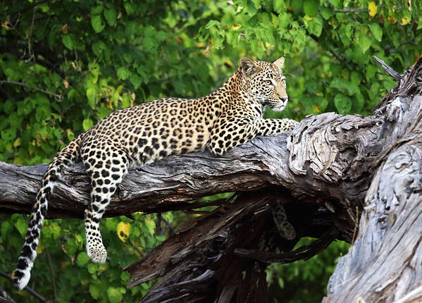 Moremi Game Reserve Botswana Leopard in Tree