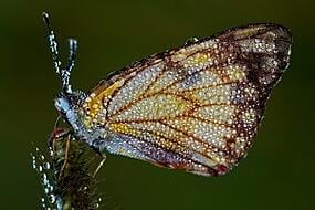 In Southern Tanzania we witnessed a huge butterfly migration and each night the butterflies would roost amongst the wild grass. In the early morning, they were covered in dew and would wait patiently for the dew to evaporate before fluttering off. This patience combined with the delicate drops, for me, seemed to capture the essence of these wonderful creatures.