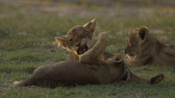 Lionesses & cubs5