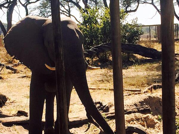 Warthog the elephan