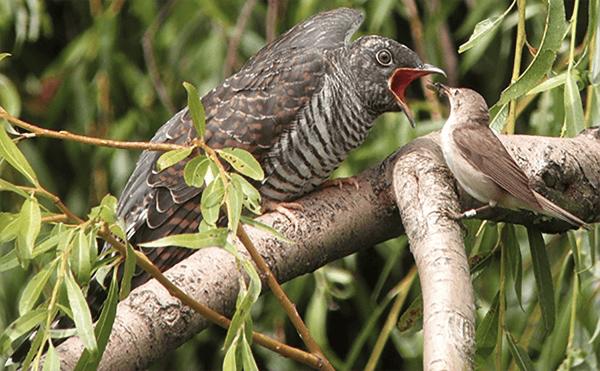cuckoo winner