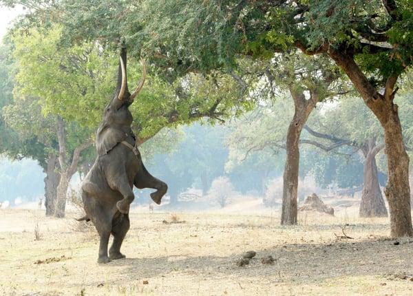 elephant-boswel-Mana-Pools-National-Park-Zimbabwe-African-Bush-Camp-9-1024x735-2