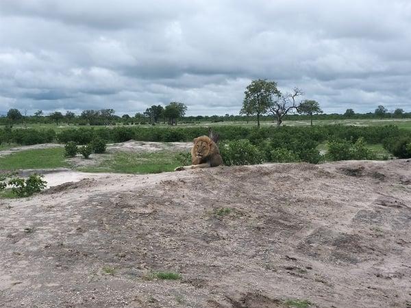 lion-somalisa-hwange