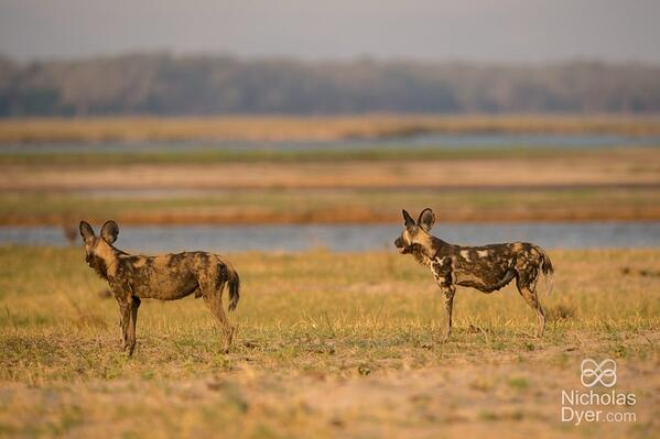 wild dogs mana pools national pack nick dyer zimbabwe safari