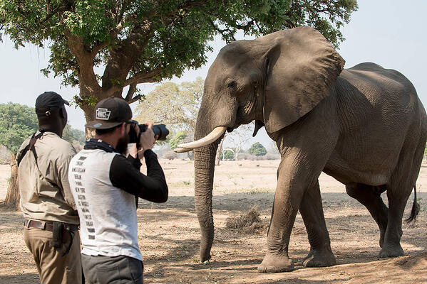 zambezi_expeditions_mana_pools_national_park_zimbabwe_safari_tented_camp_african_bush_camps_walking_safari_elephant_16-1