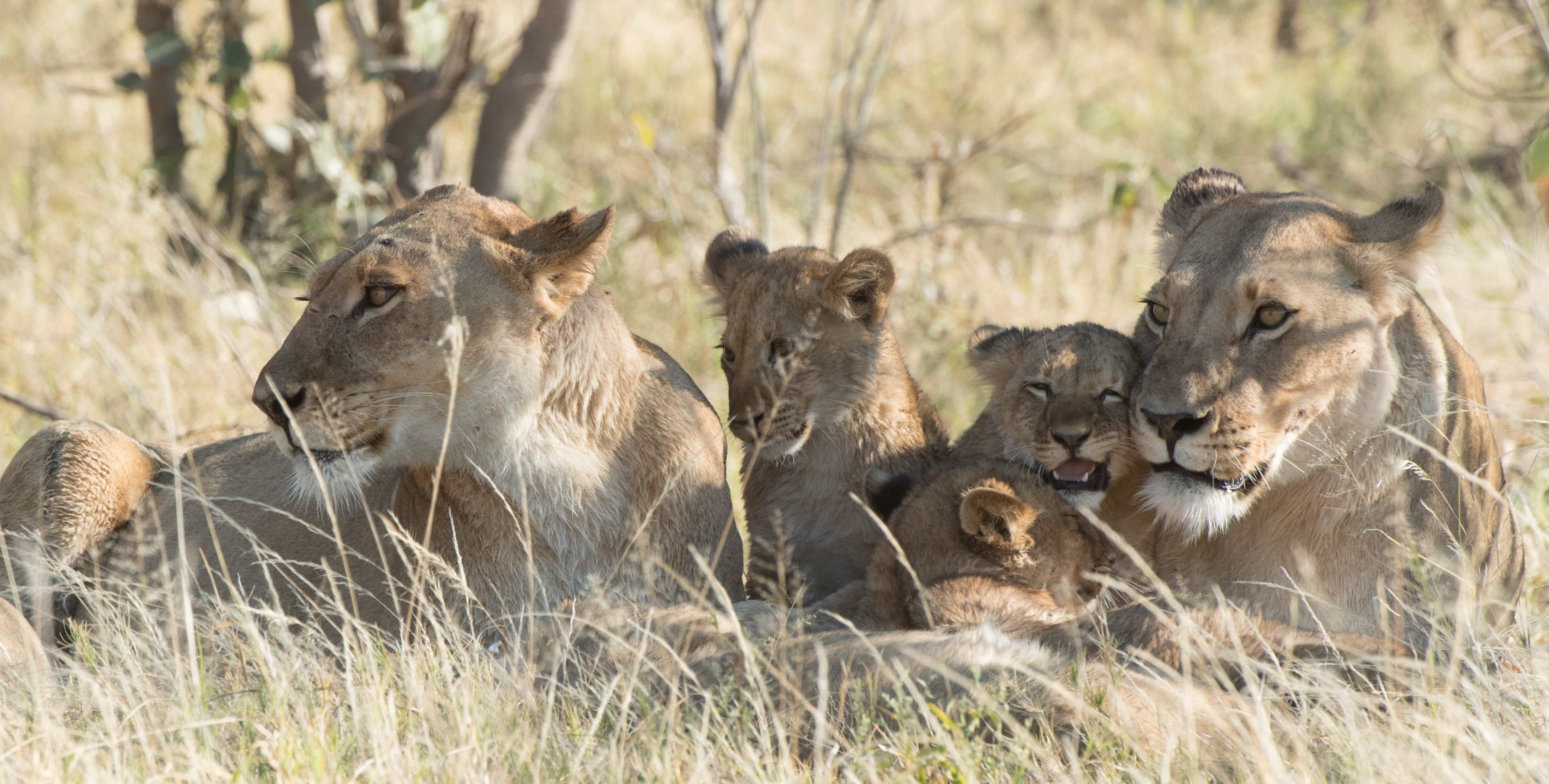 Khwai Tented Camp, Moremi Game Reserve, Botswana, lioness and baby lions